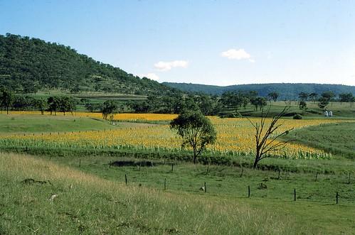 queensland australia southernqueensland farming goomburra sunflowers