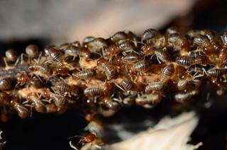 Unidentified Termites   by Misenus1