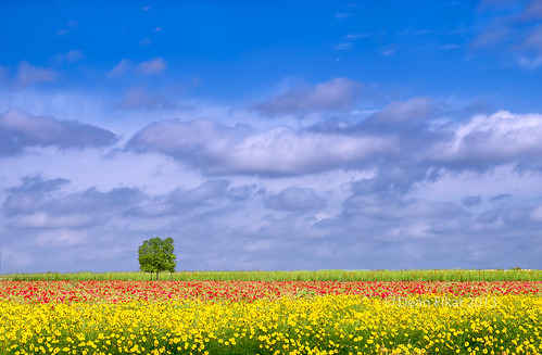 flowers trees red wild sunlight tree green floral field yellow garden season spring scenery colorful day texas cloudy blossom outdoor vibrant horizon seasonal meadow vivid objects sunny row foliage sunflowers bloom getty grasses wildflowers hillcountry fredericksburg singletree springtime