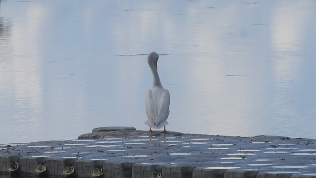 MVI_7209 white pelican preening UCSB lagoon