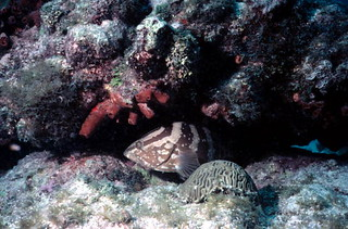 Nassau Grouper at John Pennekamp Coral Reef State Park: Key Largo, Florida