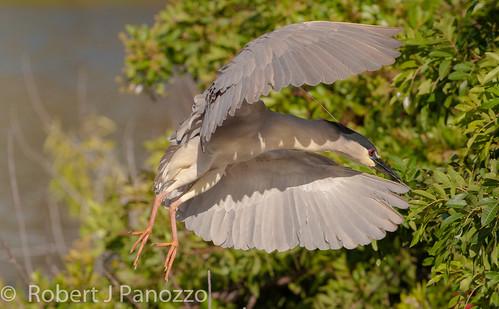 bird heron autofocus blackcrownednightheron nightheron naturesgallery thenaturesgreenpeace allnaturesparadise veniceareaaudubonsocietyrookery