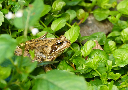 Frog Aug 2016 | by http://wildaboutthebritishisles.uk