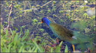 PURPLE GALLINULE | by cuatrok77