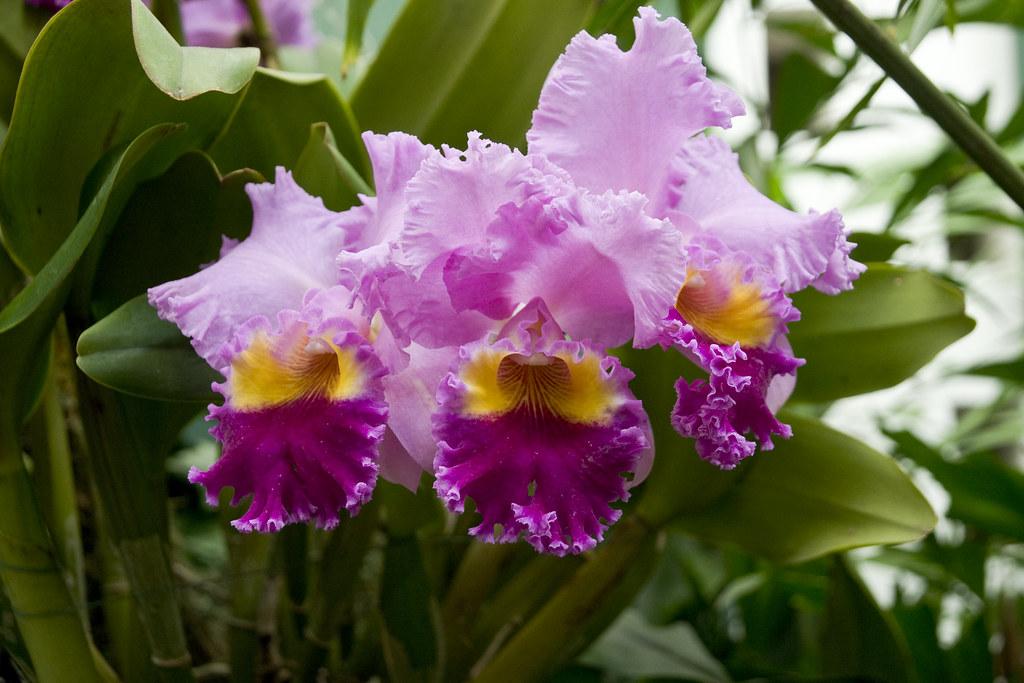 Orchid show 94 missouri botanical garden orchid show - Orchid show missouri botanical garden ...