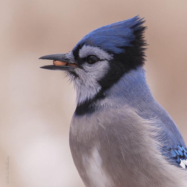 Blue Jay-5980