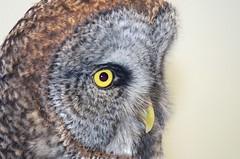 Inquisitive Gus, Captive Great Gray Owl (Strix nebulosa) DDZ_3470