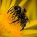 Bee in Pollen Heaven by jasonmgabriel