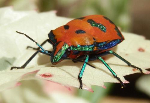 harlequinbug blinkagain
