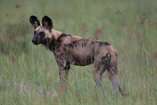 African wild dog (Lycaon pictus) | by Lip Kee