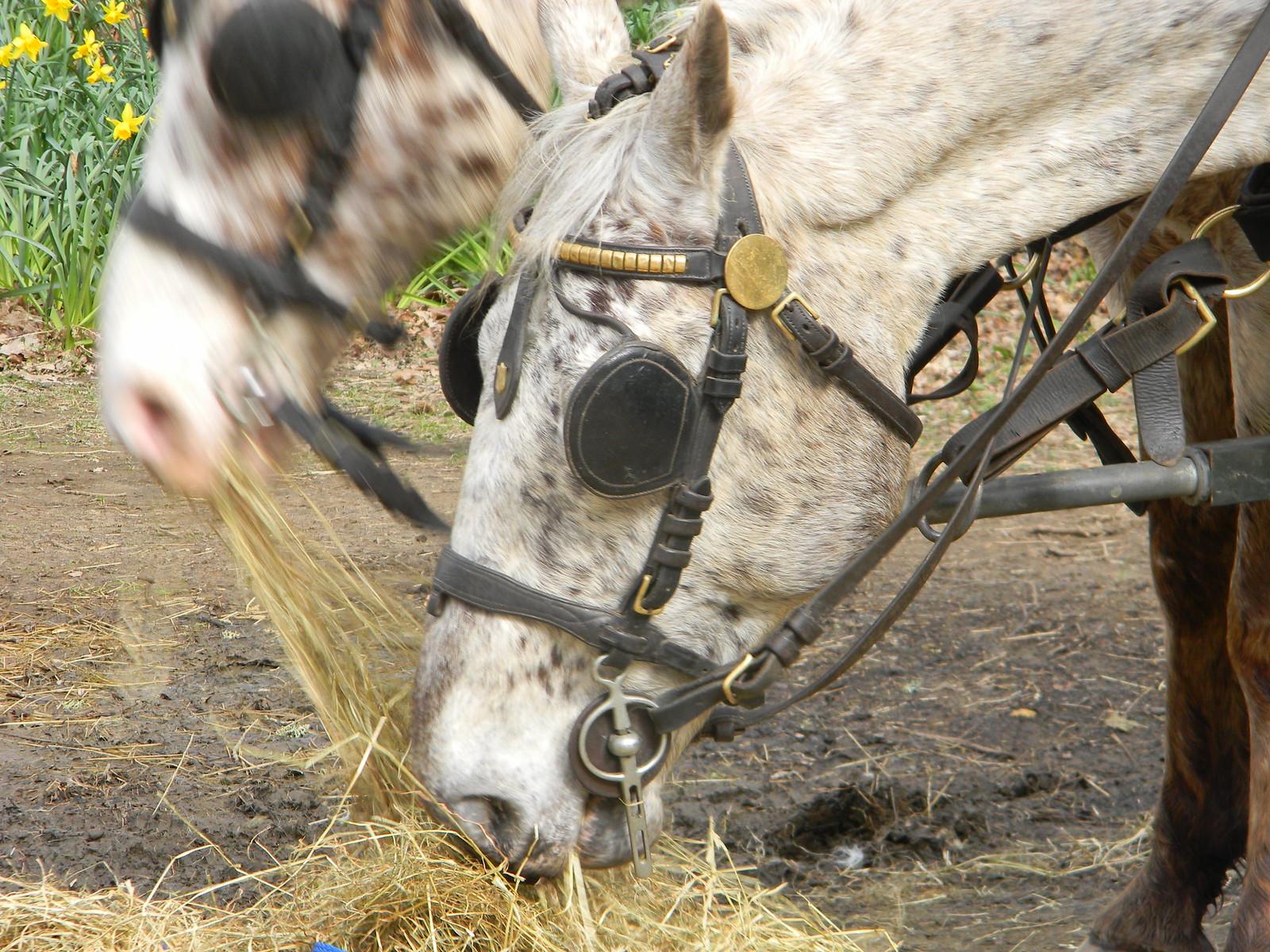 Horses, Winkworth Arboretum Milford to Godalming