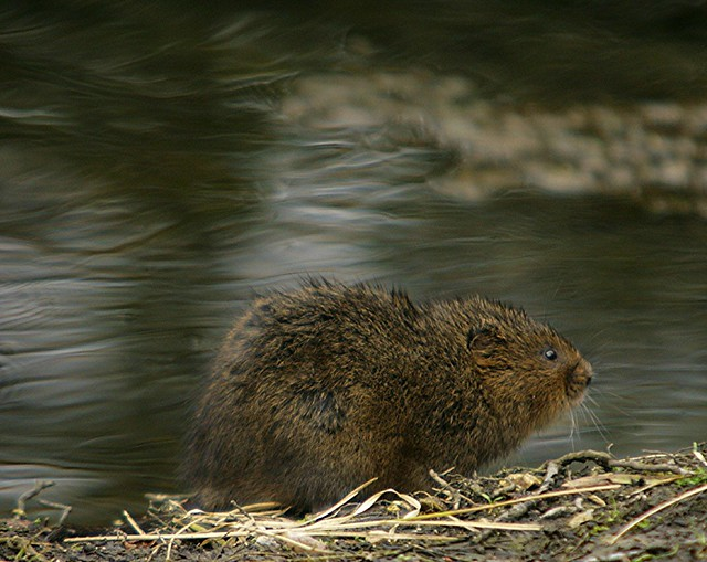 Mr Ratty ( the water vole)