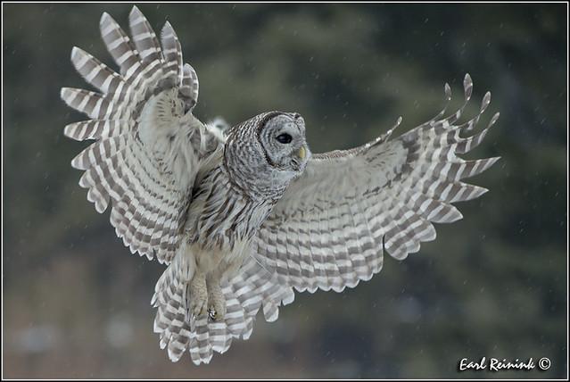 Barred Owl (20130129-0179) (Explore)