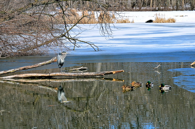 Winter scene @ Fermi Lab with Fred 4 and friends Blue Heron (Ardea herodias)