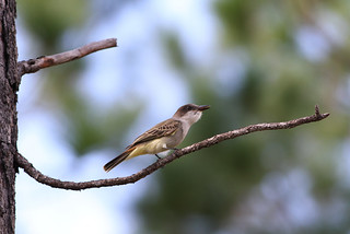 Loggerhead Kingbird, Great Abaco, Bahamas, January 2013 | by Sterna999