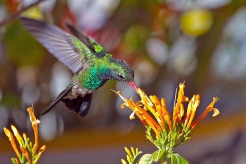 arizona birds tucson hummingbirds