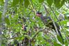 Crested Guan / Penelope purpurascens by peter.lindenburg