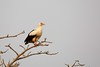 Palm-nut Vulture (Gypohierax angolensis) by piazzi1969