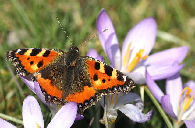 butterfly on crocus
