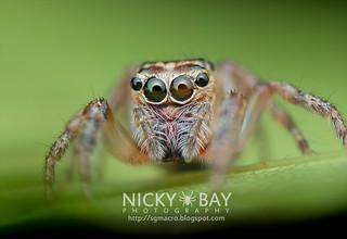 Jumping Spider (cf. Pancorius sp.) - DSC_7775