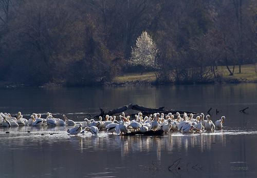 white pelicans water birds sunrise arkansas russellville americanwhitepelican zormsk bradfordpeartree illinoisbayou