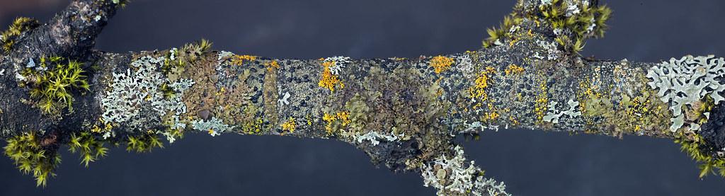 at least 15 lichen species