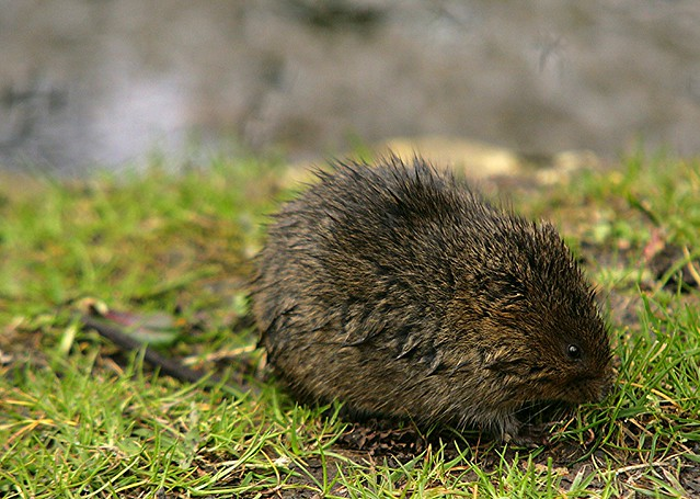 The River Water Vole
