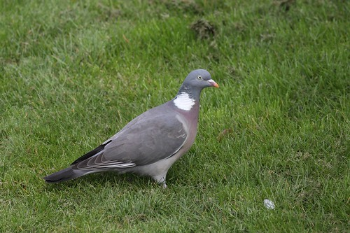 Wood pigeon (Columba palumbus) | by Deanster1983 who's on and off