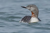 Moulting Red-throated Loon (Gavia stellata) - Ocean Shores, WA by bcbirdergirl