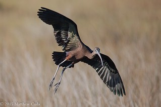 Glossy Ibis | by Matt Cuda - www.mattcuda.com
