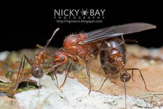 Ant (Myrmicaria sp.) - DSC_6164   by nickybay