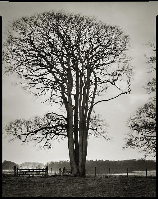 Statuesque Tree - Direct Positive. Felbrigg, Norfolk.