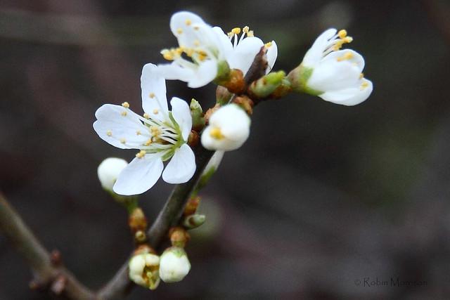 Sign of Spring 2 : Blackthorn