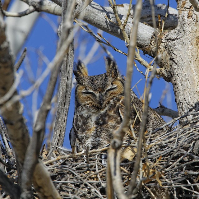 Great Horned Owl Sits on Nest
