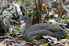 Great Tinamou / Tinamus major by peter.lindenburg