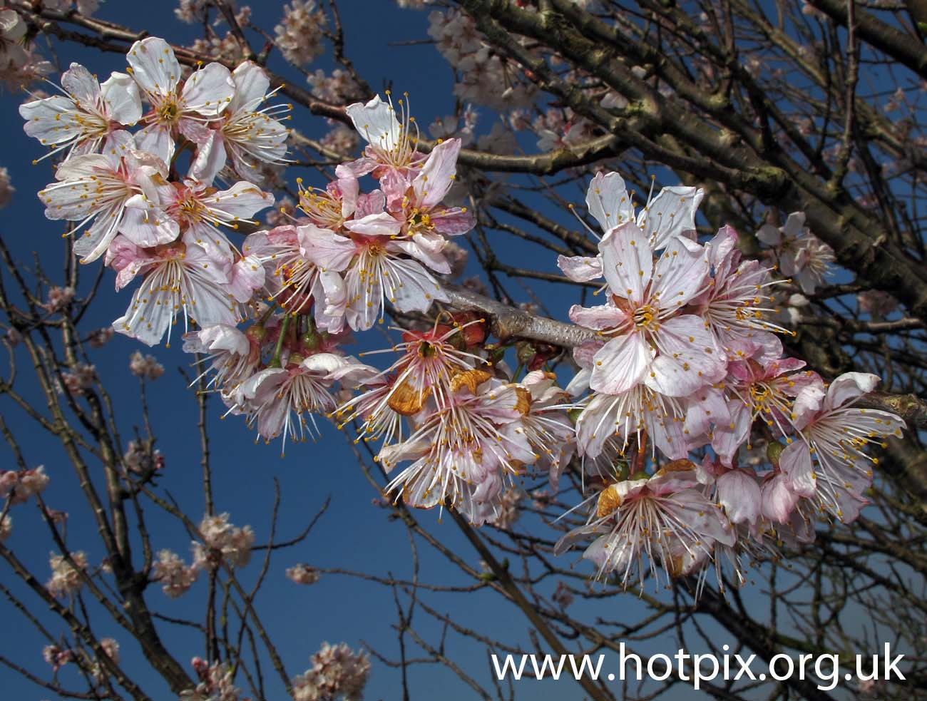 Spring,flower,cherry,blossom,bloom,new,life,tree,cheshire,england,uk,white,pink,petals,tonysmith,hotpix,tonysmiththat,tonysmiththathousing