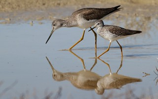 Greater and Lesser Yellowlegs | by Mark Scheel