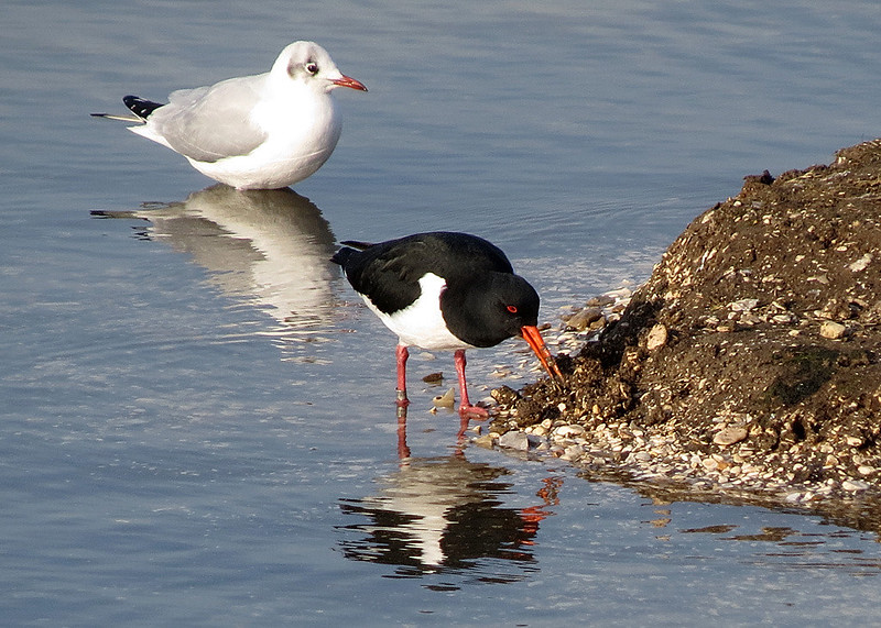 Oystercatcher - Haematopus ostralegus + Black-headed Gull - Larus ridibundus