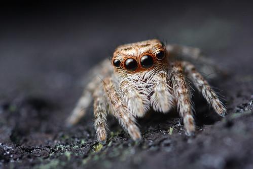 macro eye canon spider close 28mm reversemacro salticidae 40d 28mmreversemacro