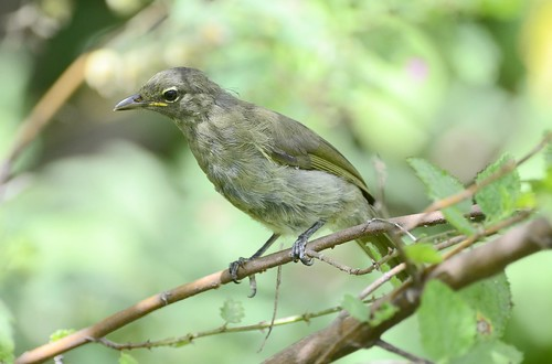 Sombre Greenbul (Andropadus importunus) Imm | by Ian N. White