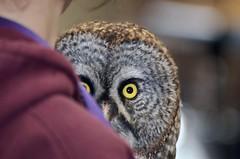 Peekaboo Gus, Captive Great Gray Owl (Strix nebulosa) DDZ_3458