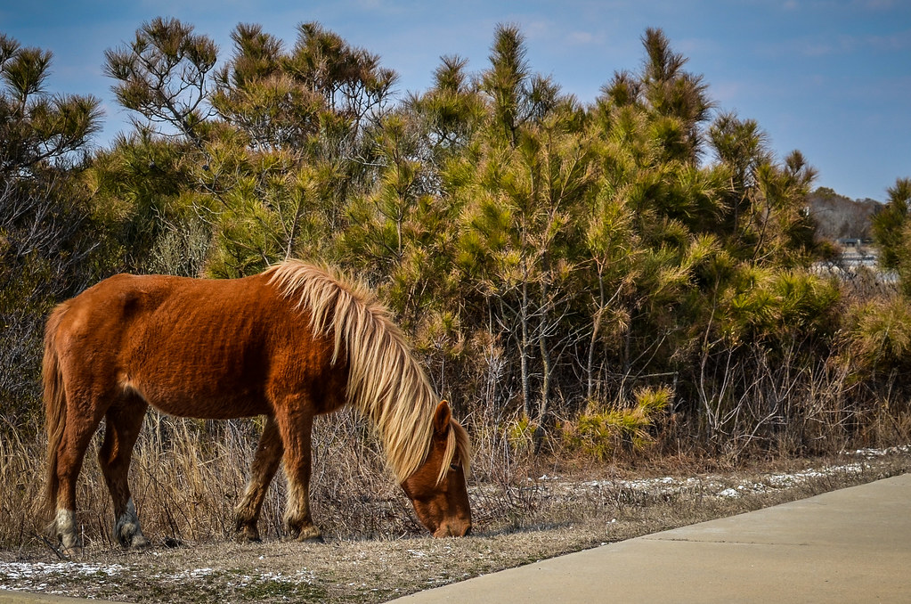 Horse @ Assateague Island