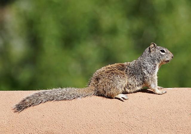 Rock Squirrel / Spermophilus variegatus