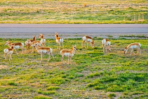 usa nature animals colorado wildlife places cherrycreekstatepark antalope rawfiles