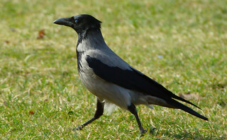 Kråka / Hooded Crow | by Stefan Berndtsson