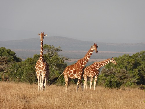 Giraffe trio at sunset | by kathrynbullock