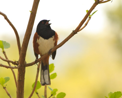 spotted towhee singing | by minicooper93402