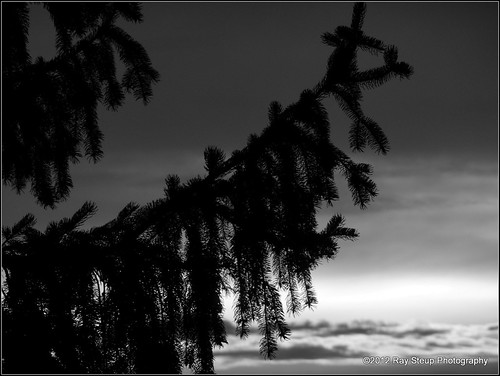blackandwhite tree silhouette pinetree sunrise indiana wintertree evergreentree allencountyindiana sonydschx9v