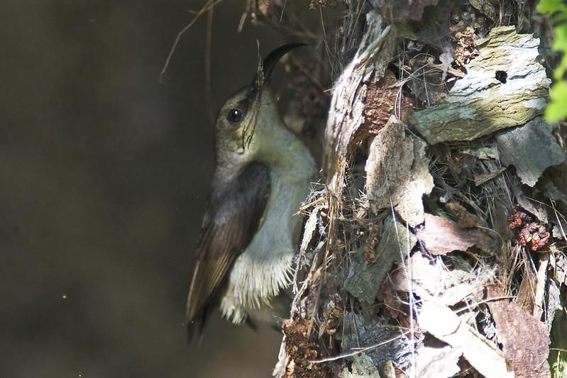 Kanyakumari Birds-9 - Nectarina lotenia