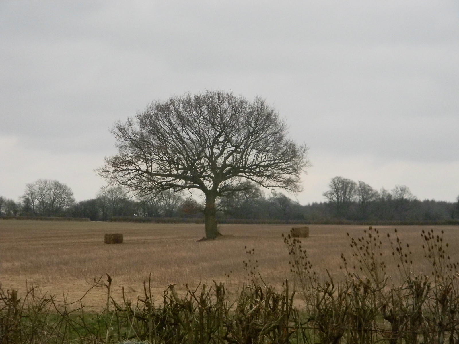 Tree in a field with teasels.... Whyteleaf to Hayes